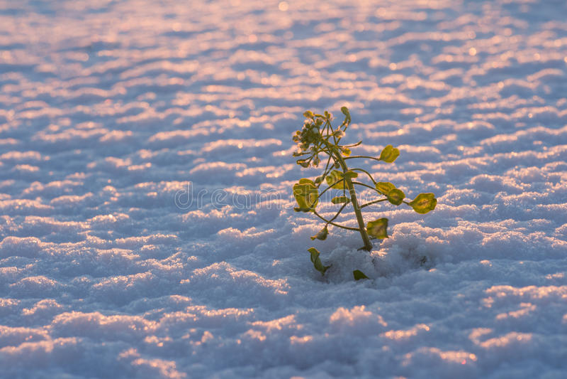 Pianta in neve fotografia stock libera da diritti