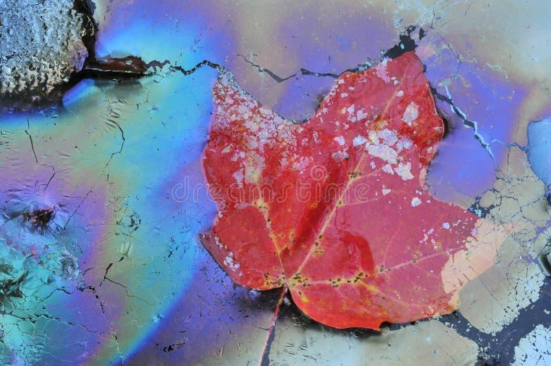 pianta oleifera dell'acero del foglio immagini stock libere da diritti