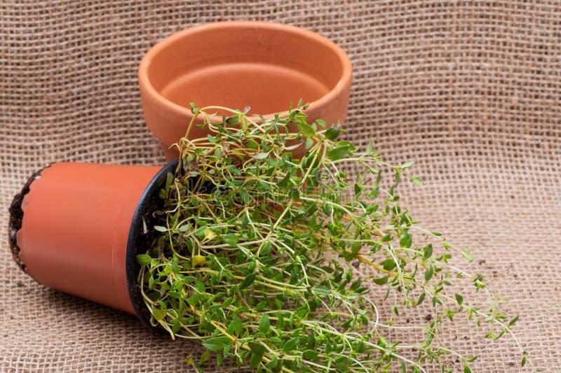 Pianta organica conservata in vaso del timo con le radici in suolo fertilizzato isolato su tela da imballaggio naturale Timo vulg fotografia stock libera da diritti