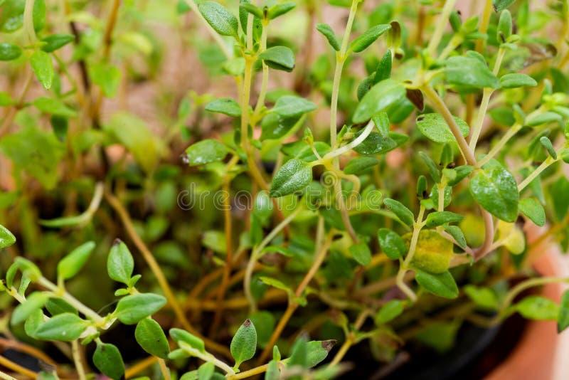 Pianta organica conservata in vaso del timo con le radici in suolo fertilizzato isolato su tela da imballaggio naturale Timo vulg immagini stock libere da diritti