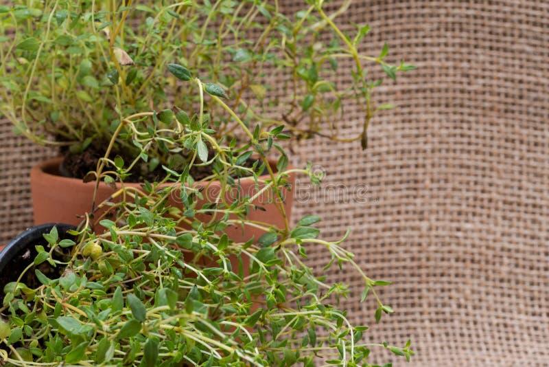 Pianta organica conservata in vaso del timo con le radici in suolo fertilizzato su tela da imballaggio naturale Timo vulgaris nel fotografie stock libere da diritti