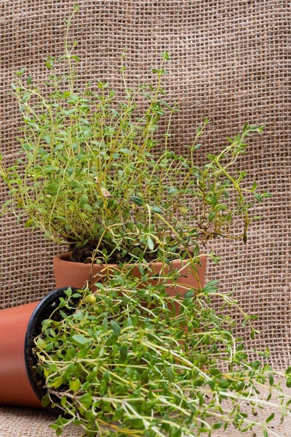 Pianta organica conservata in vaso del timo con le radici in suolo fertilizzato su tela da imballaggio naturale Timo vulgaris nel immagine stock libera da diritti