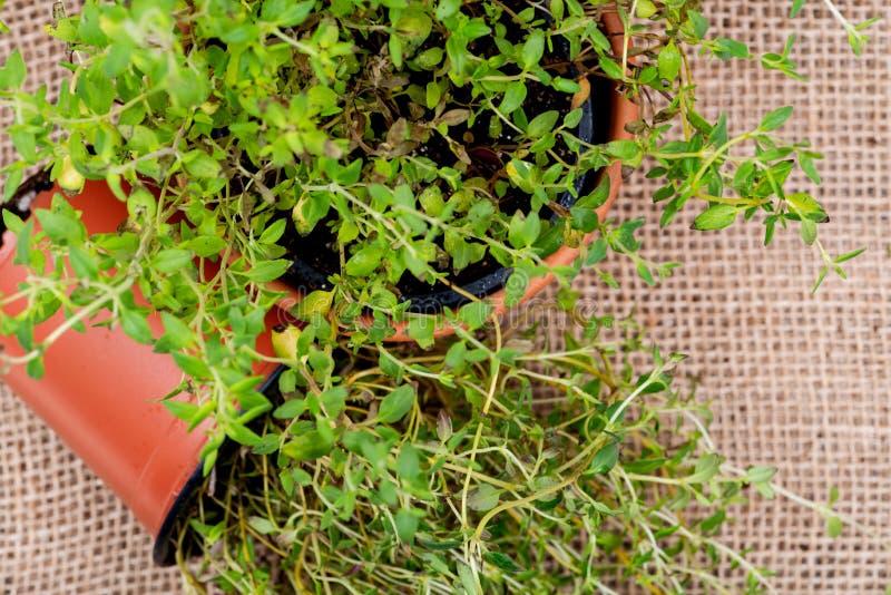 Pianta organica conservata in vaso del timo con le radici in suolo fertilizzato su tela da imballaggio naturale Timo vulgaris nel immagini stock
