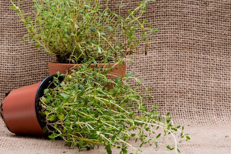 Pianta organica conservata in vaso del timo con le radici in suolo fertilizzato su tela da imballaggio naturale Timo vulgaris nel fotografia stock libera da diritti