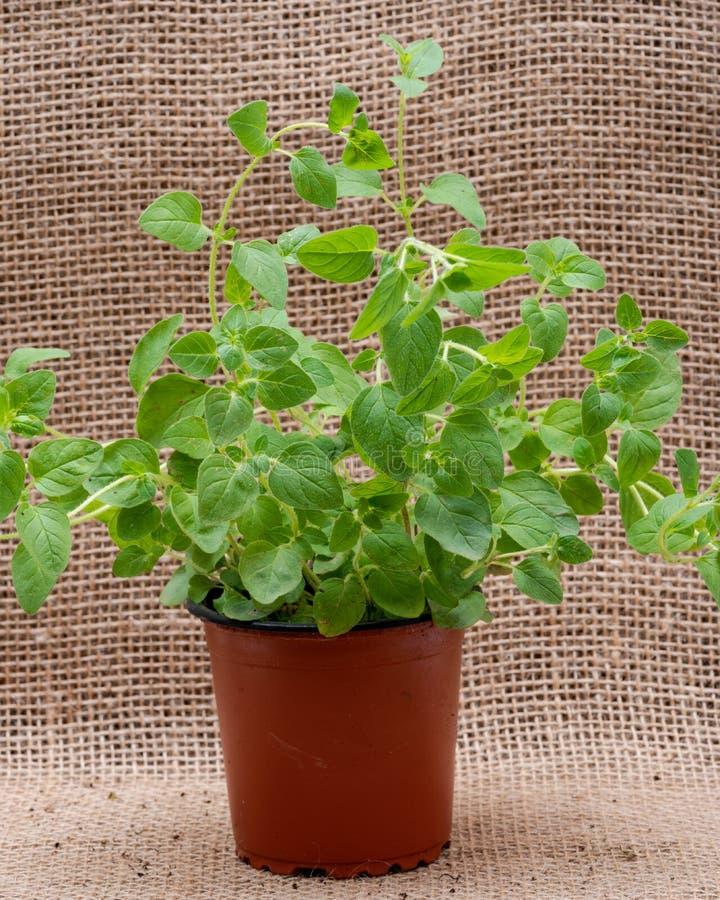Pianta organica conservata in vaso dell'origano con le radici in suolo fertilizzato isolato su tela da imballaggio naturale Origa fotografia stock libera da diritti