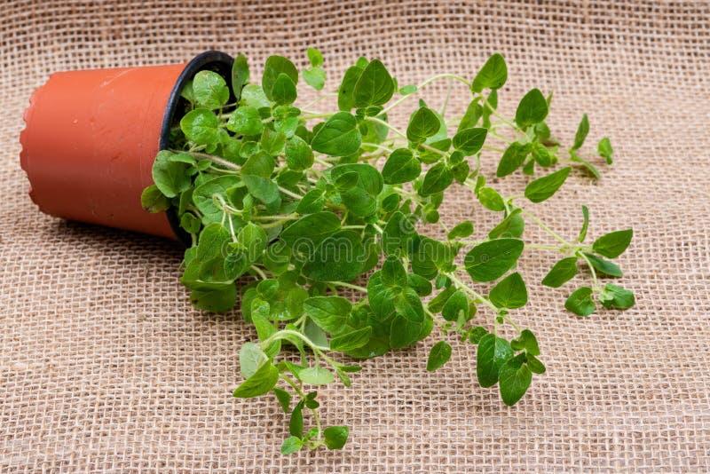 Pianta organica conservata in vaso dell'origano con le radici in suolo fertilizzato isolato su tela da imballaggio naturale Origa fotografie stock libere da diritti