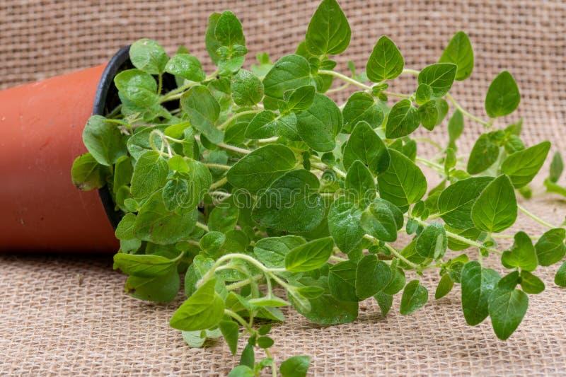 Pianta organica conservata in vaso dell'origano con le radici in suolo fertilizzato isolato su tela da imballaggio naturale Origa immagini stock