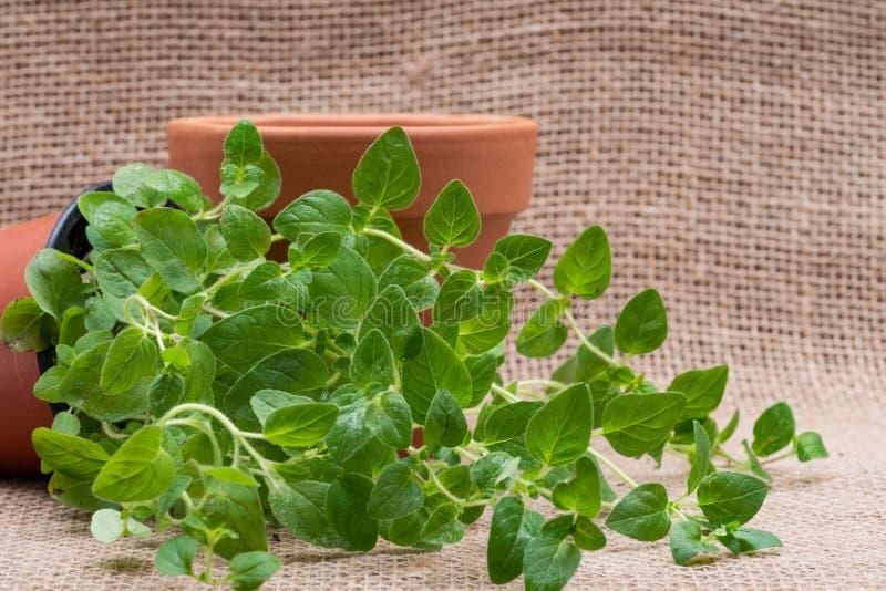Pianta organica conservata in vaso dell'origano con le radici in suolo fertilizzato isolato su tela da imballaggio naturale Origa immagini stock libere da diritti