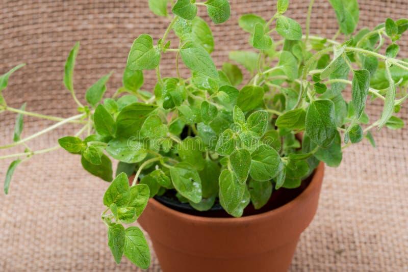 Pianta organica conservata in vaso dell'origano con le radici in suolo fertilizzato isolato su tela da imballaggio naturale Origa immagine stock