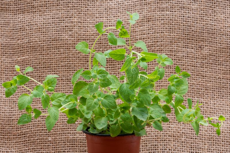 Pianta organica conservata in vaso dell'origano con le radici in suolo fertilizzato su tela da imballaggio naturale Origanum vulg fotografia stock