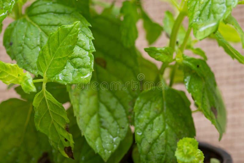Pianta organica conservata in vaso della menta piperita con le radici in suolo fertilizzato isolato su tela da imballaggio natura immagini stock
