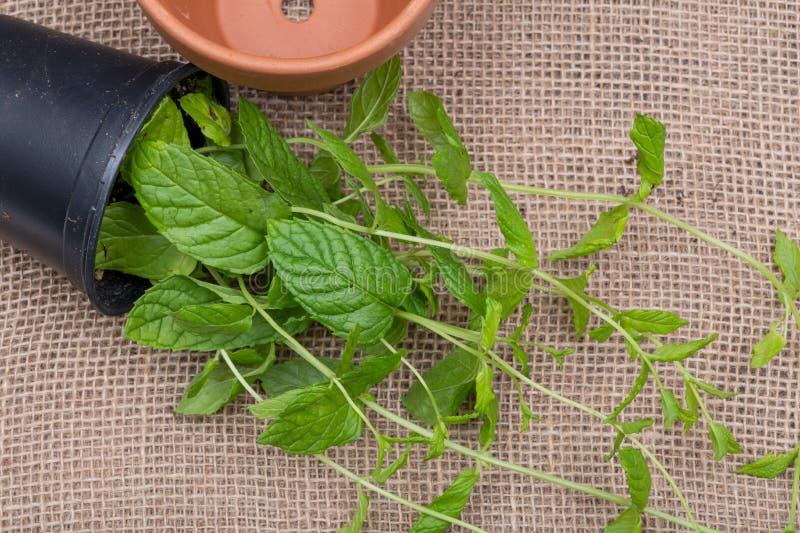 Pianta organica conservata in vaso della menta piperita con le radici in suolo fertilizzato isolato su tela da imballaggio natura fotografie stock libere da diritti