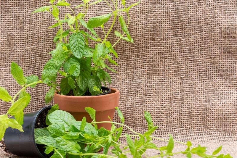 Pianta organica conservata in vaso della menta piperita con le radici in suolo fertilizzato isolato su tela da imballaggio natura immagine stock