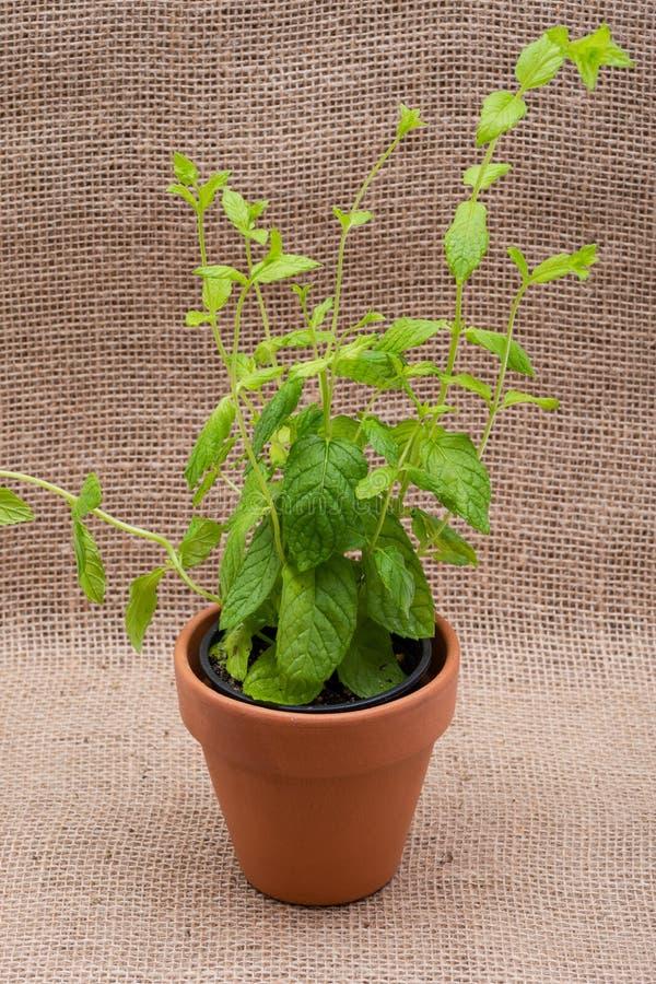 Pianta organica conservata in vaso della menta piperita con le radici in suolo fertilizzato isolato su tela da imballaggio natura fotografie stock