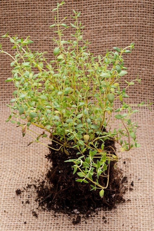 Pianta organica del timo con le radici in suolo fertilizzato isolato su tela da imballaggio naturale Timo vulgaris nella lamia de fotografie stock libere da diritti