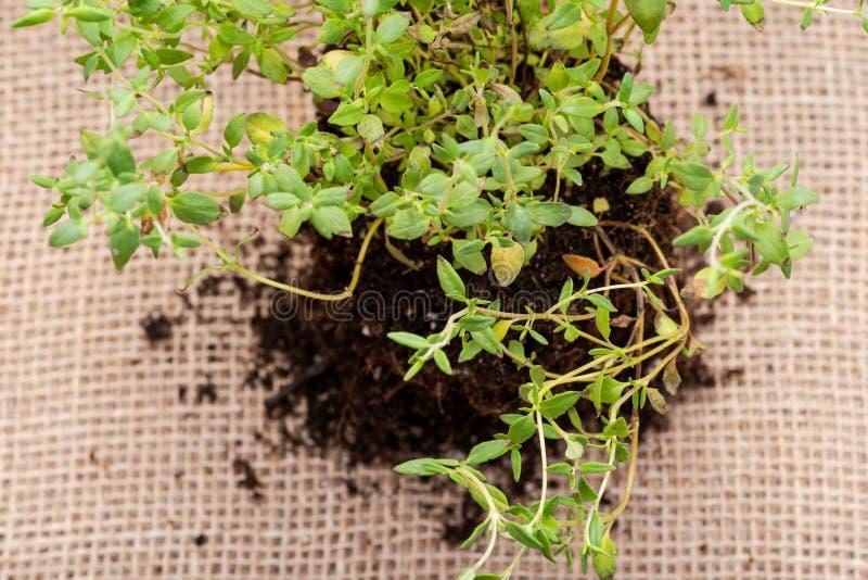 Pianta organica del timo con le radici in suolo fertilizzato isolato su tela da imballaggio naturale Timo vulgaris nella lamia de immagini stock libere da diritti