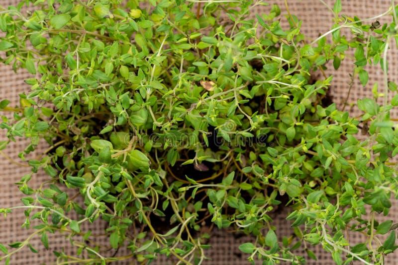 Pianta organica del timo con le radici in suolo fertilizzato isolato su tela da imballaggio naturale Timo vulgaris nella lamia de fotografia stock libera da diritti
