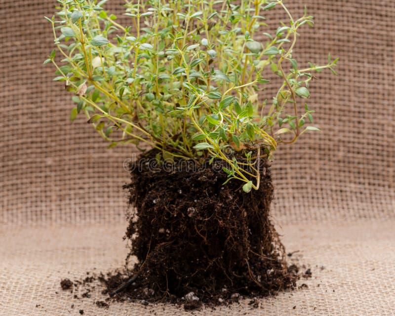 Pianta organica del timo con le radici in suolo fertilizzato su tela da imballaggio naturale Timo vulgaris nella lamia della fami fotografie stock libere da diritti