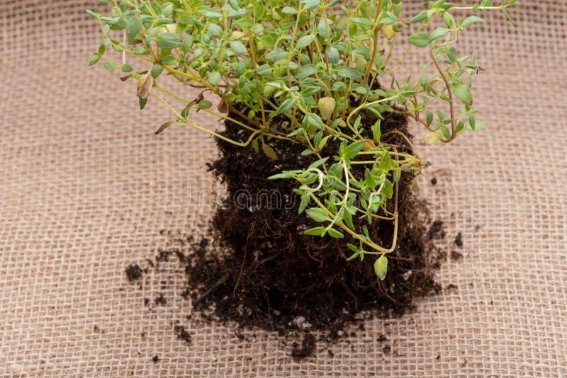 Pianta organica del timo con le radici in suolo fertilizzato su tela da imballaggio naturale Timo vulgaris nella lamia della fami immagini stock libere da diritti