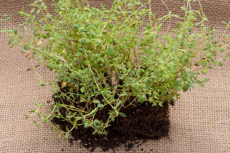 Pianta organica del timo con le radici in suolo fertilizzato su tela da imballaggio naturale Timo vulgaris nella lamia della fami fotografia stock libera da diritti