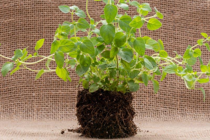 Pianta organica dell'origano con le radici in suolo fertilizzato isolato su tela da imballaggio naturale Origanum vulgare Famigli immagine stock libera da diritti