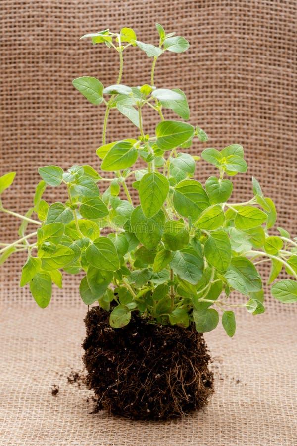 Pianta organica dell'origano con le radici in suolo fertilizzato isolato su tela da imballaggio naturale Origanum vulgare Famigli fotografia stock libera da diritti
