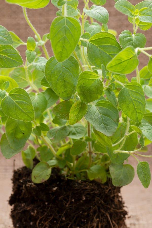 Pianta organica dell'origano con le radici in suolo fertilizzato isolato su tela da imballaggio naturale Origanum vulgare Famigli immagini stock libere da diritti