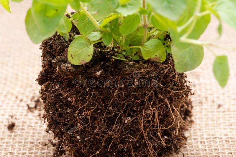 Pianta organica dell'origano con le radici in suolo fertilizzato isolato su tela da imballaggio naturale Origanum vulgare Famigli fotografie stock