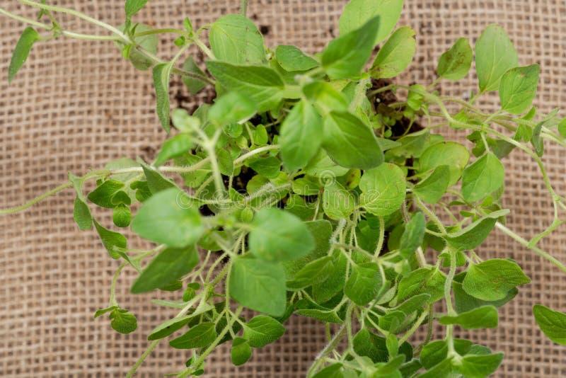 Pianta organica dell'origano con le radici in suolo fertilizzato isolato su tela da imballaggio naturale Origanum vulgare Famigli immagine stock