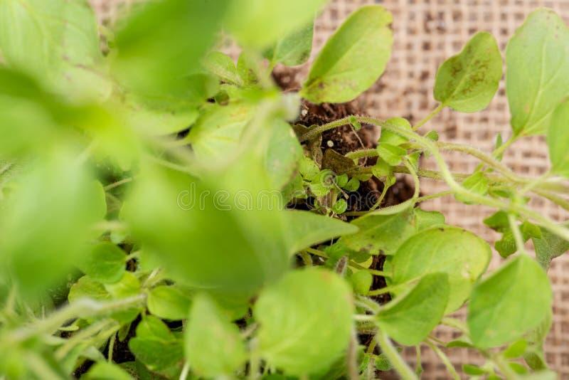 Pianta organica dell'origano con le radici in suolo fertilizzato isolato su tela da imballaggio naturale Origanum vulgare Famigli fotografia stock