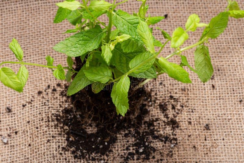 Pianta organica della menta piperita con le radici in suolo fertilizzato isolato su tela da imballaggio naturale Specie: Menta x  fotografia stock libera da diritti