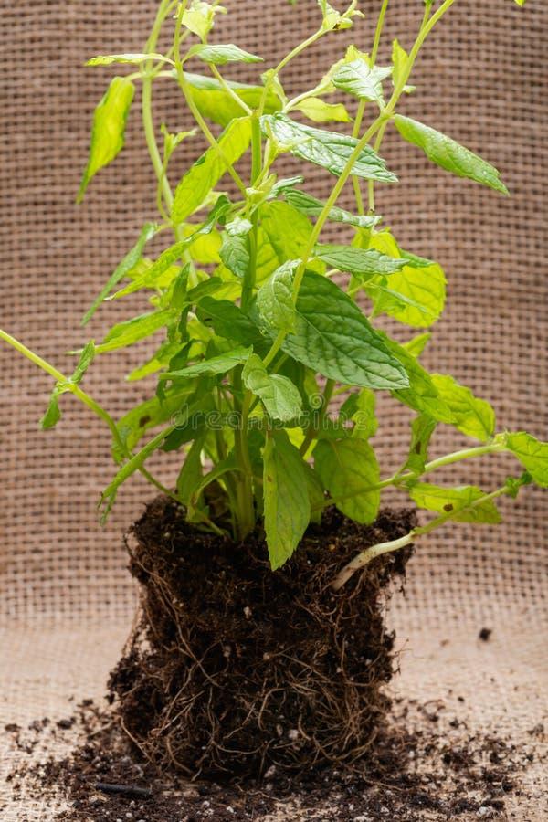 Pianta organica della menta piperita con le radici in suolo fertilizzato isolato su tela da imballaggio naturale Specie: Menta x  immagine stock libera da diritti
