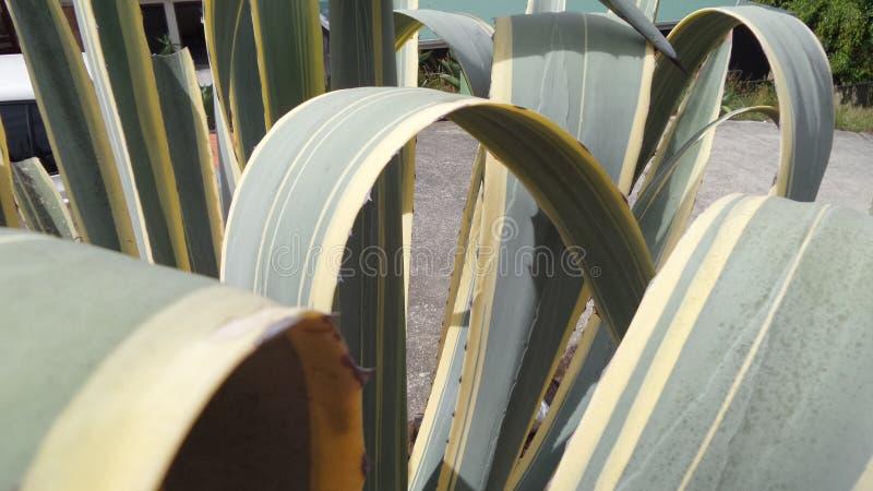 Pianta pendente del cactus del lino immagine stock