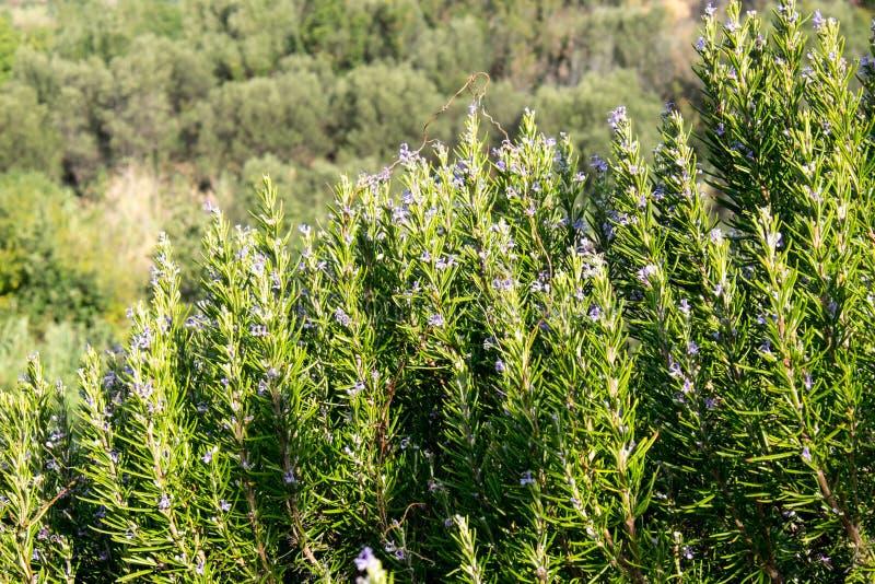 Pianta perenne aromatica dei rosmarini Mediterranei immagine stock