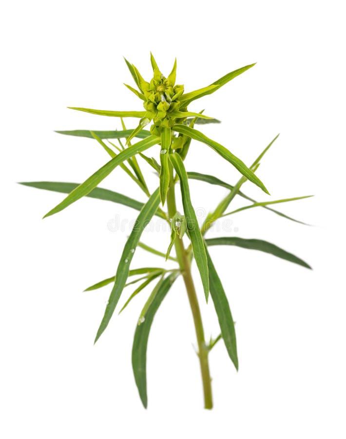 Pianta perenne di cyparissias dell'euforbia dell'erba isolata fotografia stock