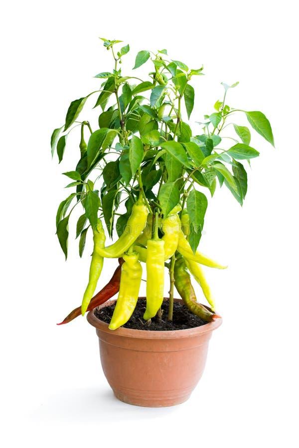 Pianta piccante del peperone verde e di rosso nel vaso isolato su bianco fotografia stock