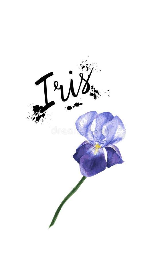Pianta porpora del fiore dell'iride dell'illustrazione dell'acquerello di vettore Fiore dell'iride del Wildflower in uno stile de illustrazione di stock