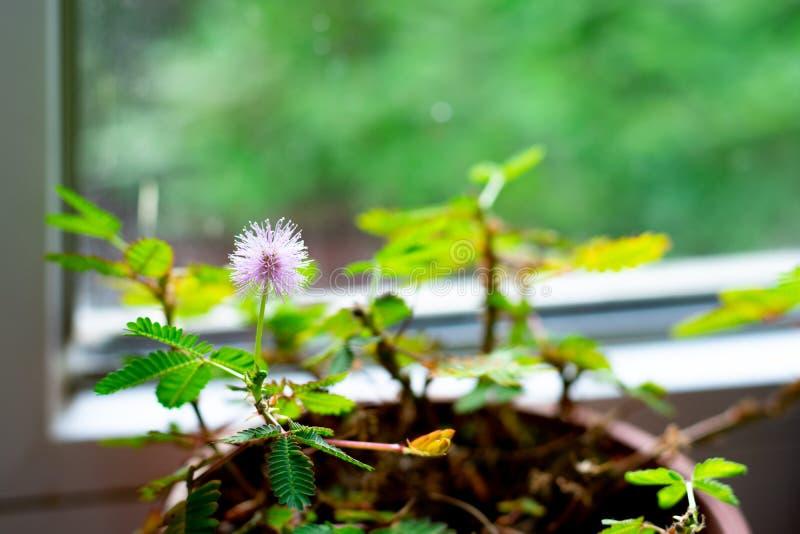 Pianta rosa di mimosa pudica davanti alla finestra fotografia stock libera da diritti
