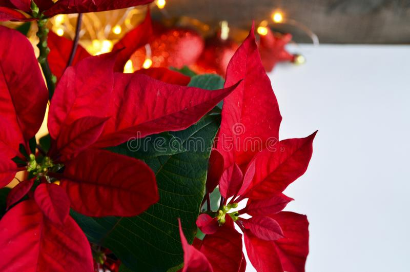 Pianta rossa di natale della stella di Natale I fiori di euphorbia pulcherrima della stella di Natale si chiudono su fotografia stock