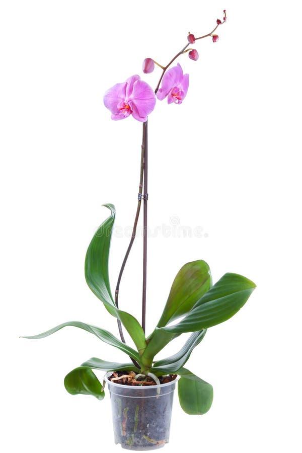 Pianta sbocciante dell'orchidea fotografia stock