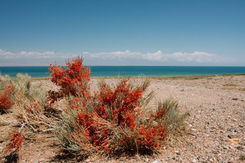 Pianta selvatica con le bacche rosse che crescono vicino al lago blu fotografia stock libera da diritti
