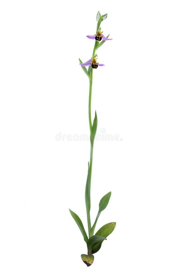 Pianta selvatica dell'orchidea di ape - apifera di ophrys immagini stock libere da diritti