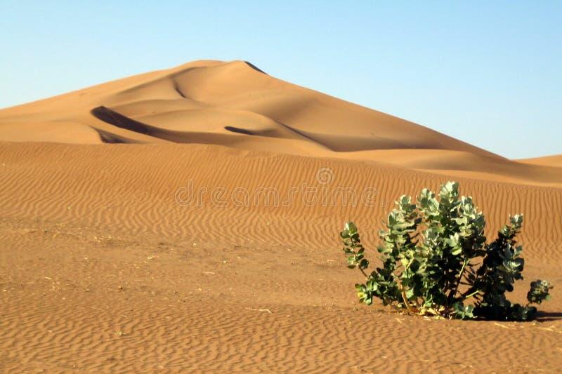 Pianta sola nel deserto immagine stock