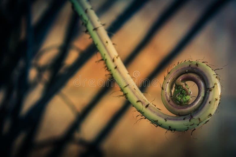 Pianta a spirale della felce fotografie stock libere da diritti