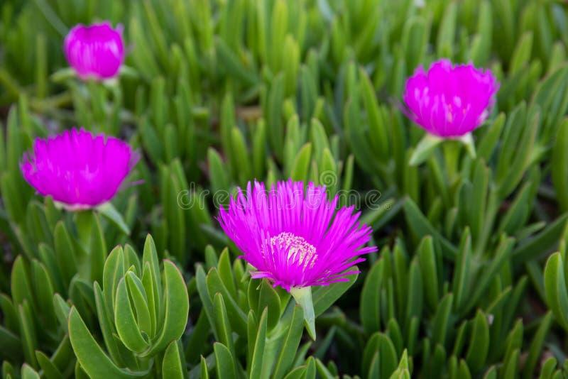 Pianta succulente di acinaciformis del Carpobrotus conosciuta dal fico comune del mare di nome che fiorisce nel Kiparissi Lakonia immagini stock libere da diritti