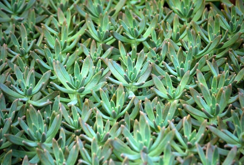 Pianta succulente di Sedum con verde blu-chiaro fotografia stock