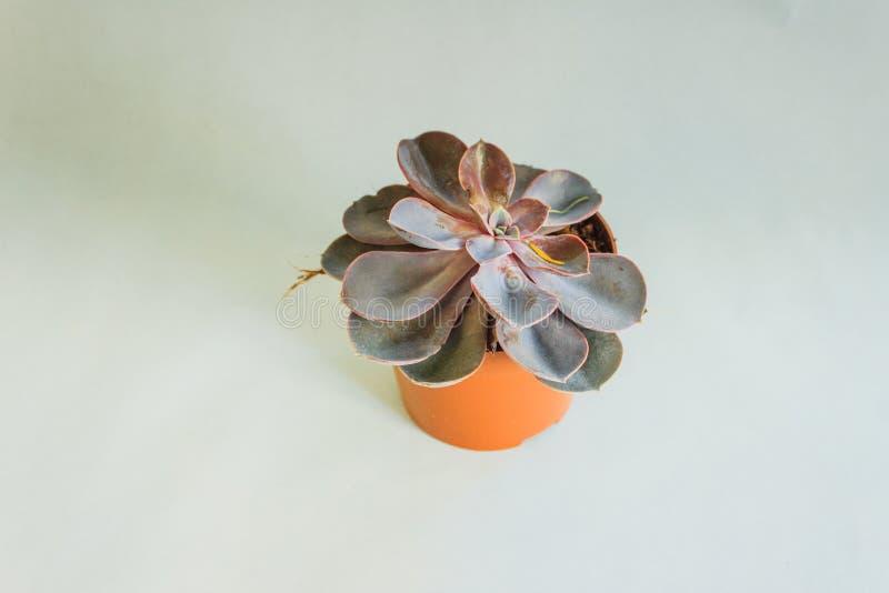 Pianta succulente in un vaso fotografie stock