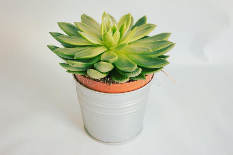 Pianta succulente in un vaso fotografia stock libera da diritti