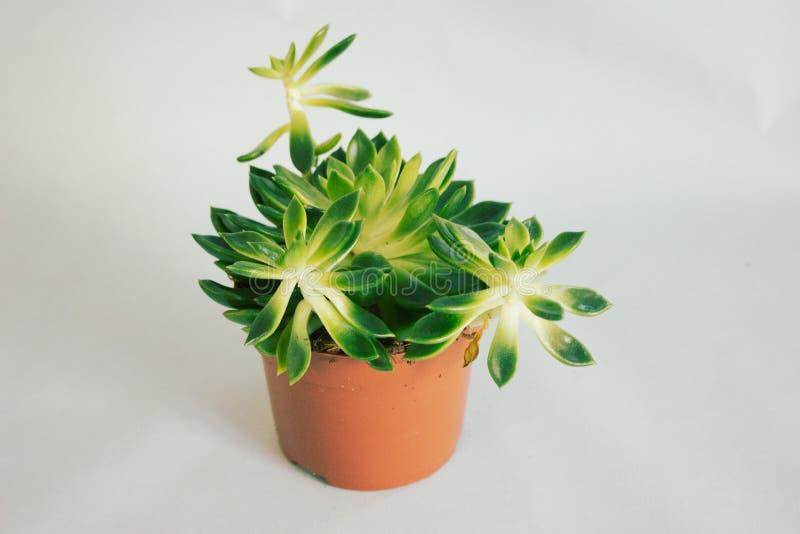Pianta succulente in un vaso immagini stock libere da diritti