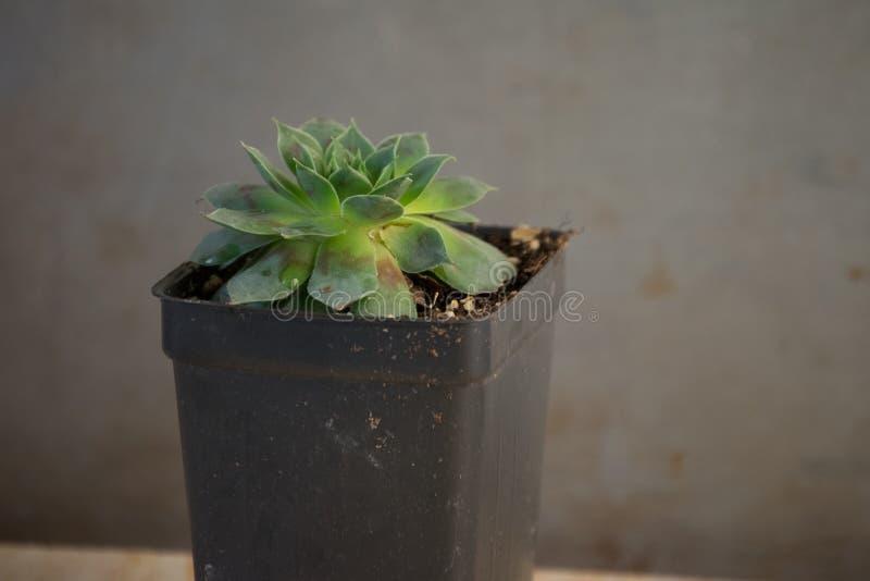 Pianta succulente verde in un contenitore conservato in vaso fotografia stock libera da diritti